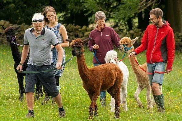 Alpaca Trekking for a Family of Four in Brontë country near Bradford