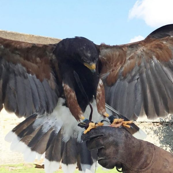 Half Day Falconry Course