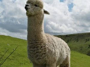 West Yorkshire Alpaca Experience