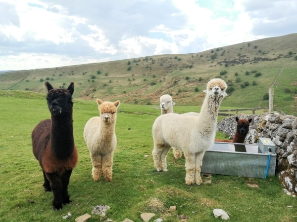 West Yorkshire Family Alpaca Experience